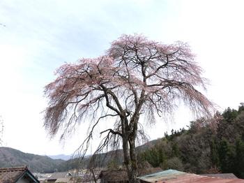 売木トンネル南にある桜
