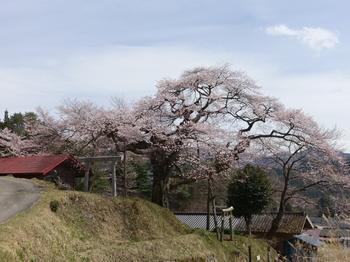 阿南町・愛宕様の小彼岸桜
