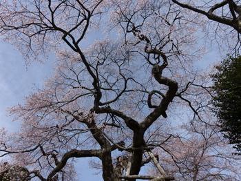 愛宕様の小彼岸桜の曲がりくねった枝振り