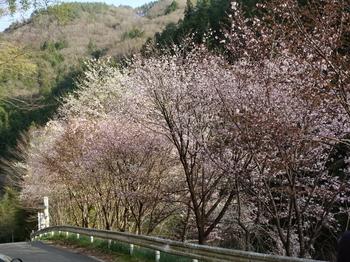 木によって桜の咲き具合が違う