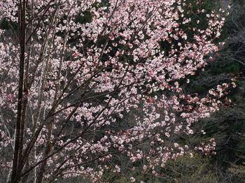 桜の花に夕陽が当たる