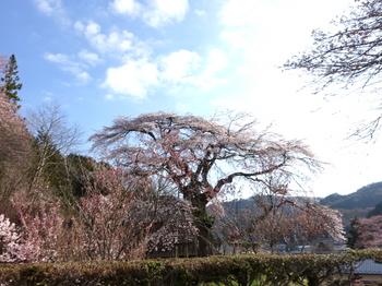 売木村・宝蔵寺の桜