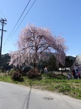 阿南町農協の桜