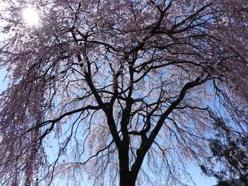 阿南町・農協脇の桜