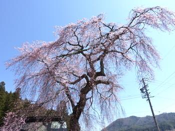 阿南町・瑞光院の桜