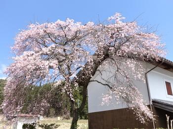 国道418沿いの桜