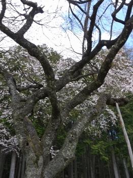 売木村・国道418沿いにある正平桜