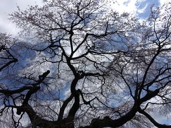 観音堂の枝垂れ桜