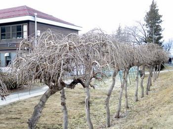 港小の枝垂れ槐