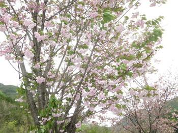 道の駅駐車場近くの八重桜