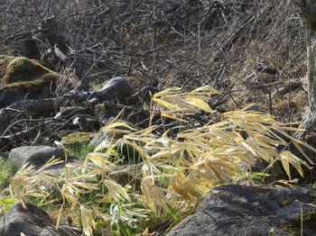 強風で葉が一方向になった笹