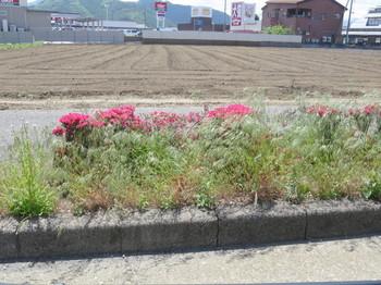 国道20の生垣に咲く花