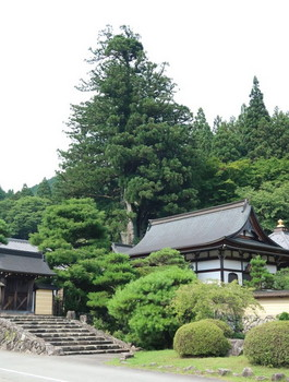 禅昌寺の大杉