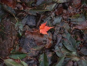 歩道に落ちていた赤い葉