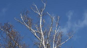 松原湖周辺の白樺
