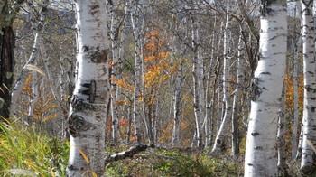 バスを待つ間に撮影した白樺林