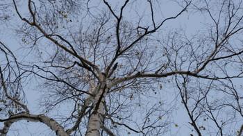 白樺の木を撮影