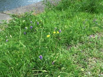 天竜川堤防の草花