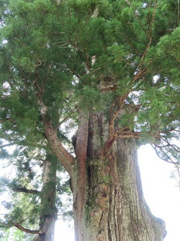 月瀬の大杉