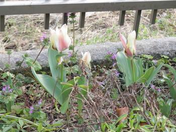 咲き始めたチューリップ