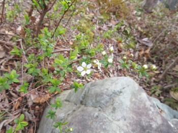 低木の白い花