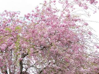 まだ桜が咲いている