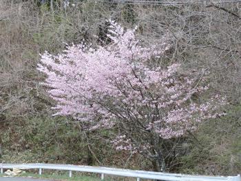国道153沿いの桜