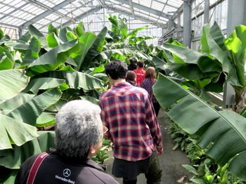 バナナ温室の中を歩く