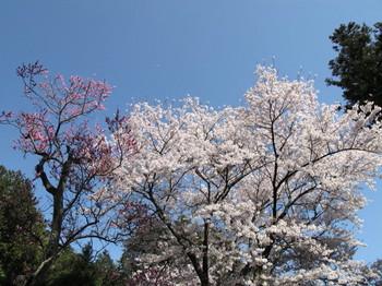 塩尻市・永福寺の桜
